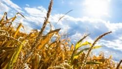 От засухи в Удмуртии пострадали зерновые, многолетние травы и лен